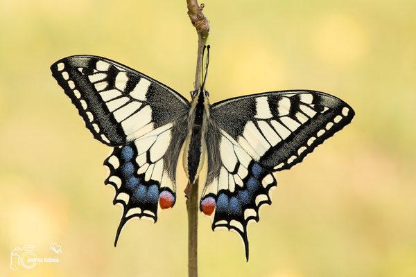 Schwalbenschwanz mit geöffneten Flügeln
