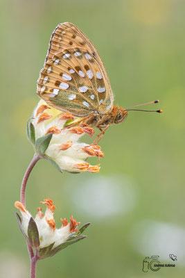 Großer Perlmuttfalter (Speyeria aglaja)