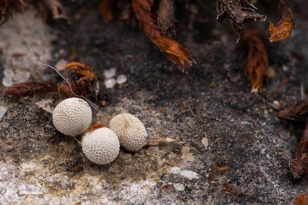 Eier vom Schwarzen Apollo