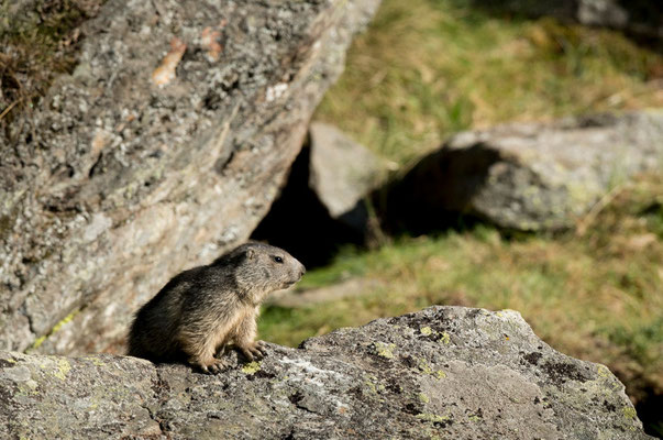 Marmotte - Valsavarenche - Gran Paradiso - Italie - 13/07/2015