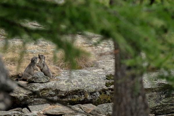 Marmotte (jeunes) - Valsavarenche - Gran Paradiso - Italie - 31/07/2015