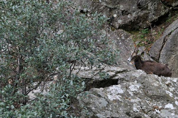 Monflon ♀ - Massif du Caroux (34) - 20/04/2013