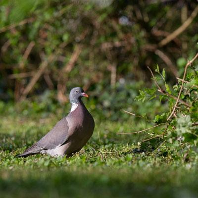 Pigeon ramier - Buxerolles (86) - 18/04/2015
