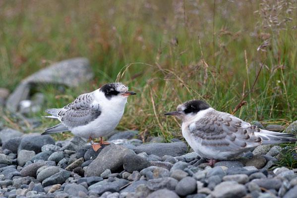 Sterne arctique - juvéniles - Islande - 19/07/2014