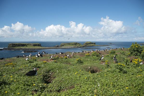 Macareux moine - Ecosse - Île de Lunga - 13/07/2016