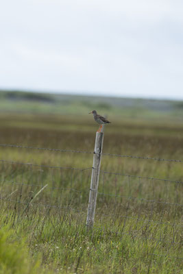 Chevalier gambette - Islande - 17/07/2014