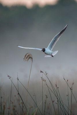 Vol dans le brouillard - Mouette rieuse