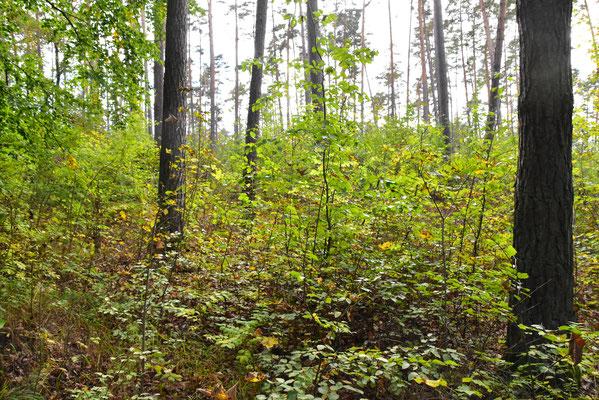 Dort wo Rehe weniger den von Eichelhähern gesäten jungen Bäumchen  zusetzen, kann sich solch eine prächtige Naturverjüngung entwickeln wie  in diesem Waldstück im Steigerwald.