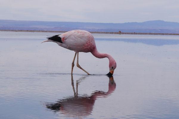 Flamingo /Chile