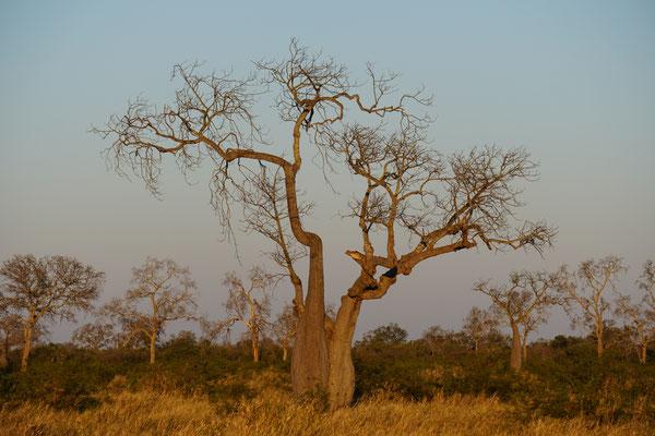 Ein Flaschenbaum in  / Paraguay
