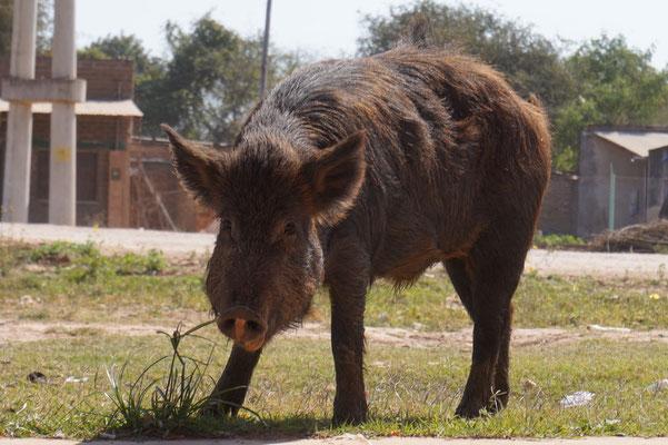 Hallo Schwein!