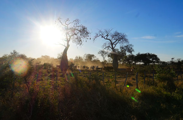 Flaschenbäume und Kühe....was braucht man mehr?  / Paraguay