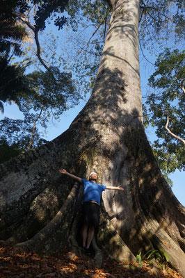 Ein grosser Baum / Rio de Janeiro / Brasilien