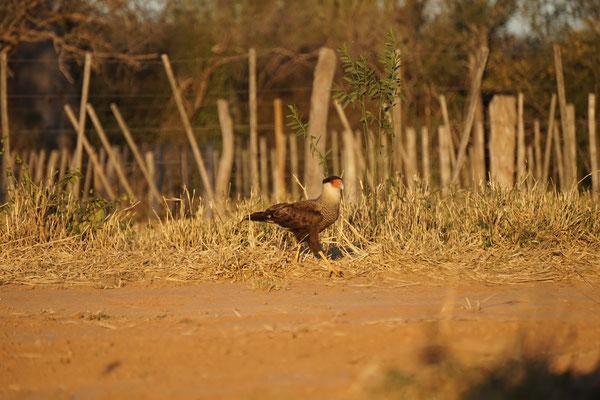 Ein typischer Vogel  / Paraguay