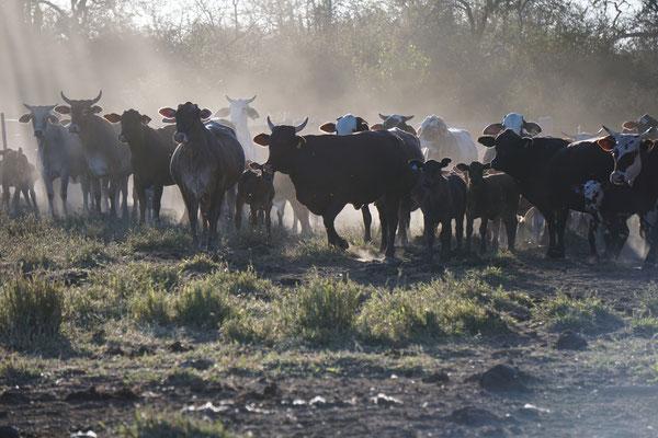 Rinder auf La Huella im Chaco  / Paraguay