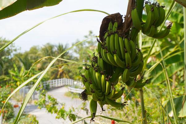 Bananen wachsen hier überall