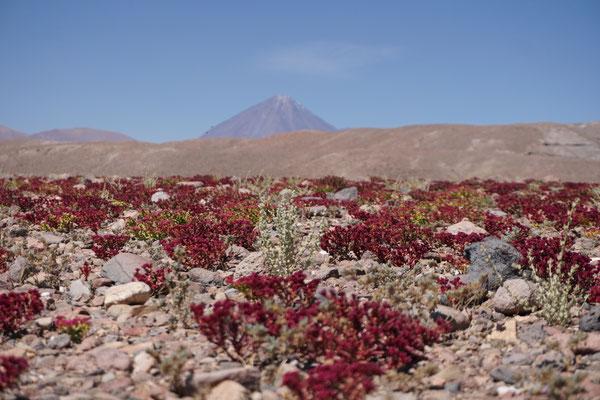 Blütenpracht in der Wüste