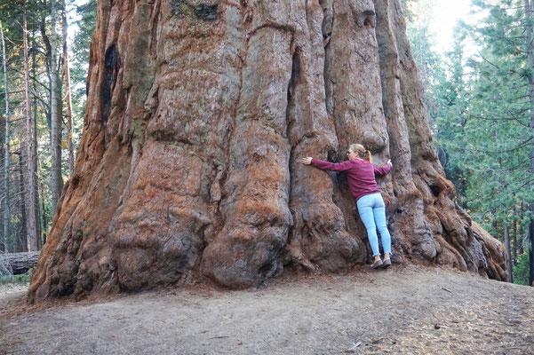 Sequoia die größten Bäume der Welt / USA