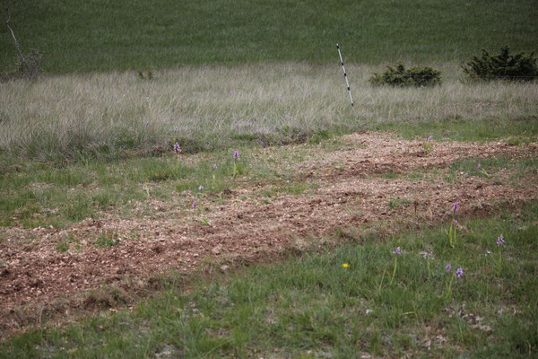 passage du trèfle lozériens sur pelouses sèches à orchidées, causse Méjean (2015)