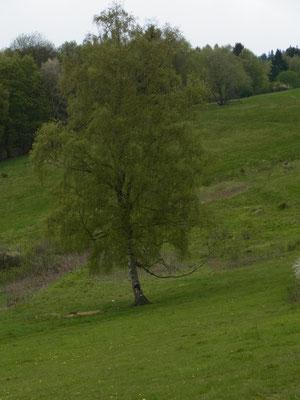 ...Birke aus dem Foto oben rechts...der Frühling kommt!!!!