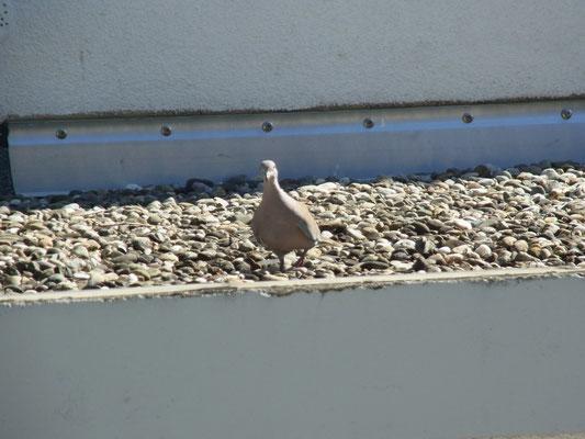 Pause auf dem Garagendach - Nestbau ist anstrengend :-)
