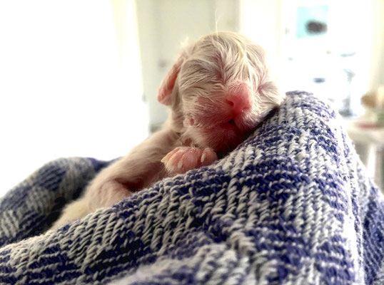 Neugeborenes Kätzchen nach Kaiserschnitt