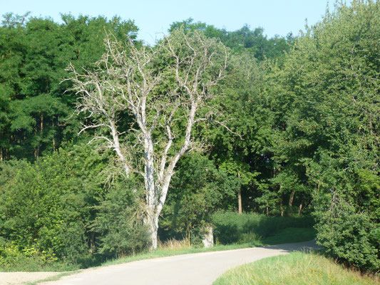 vergänglich - auch der Baum, der wohl viele Pilger sah