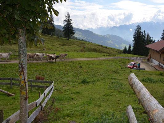 Die Kühe im Anmarsch zum Melken