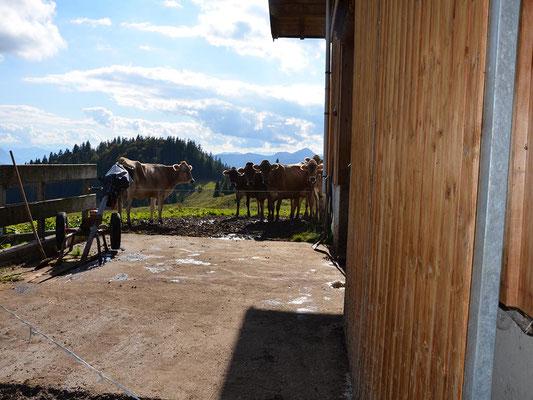 Die Kühe warten auf den Einlass zum Melken.