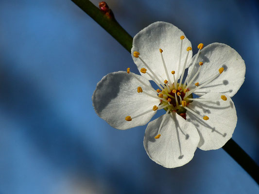 Prunus cerasifera - Wildpflaume