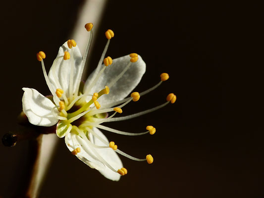 Prunus spinosa - Schlehdorn