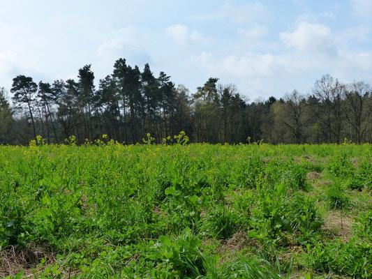 Brassica rapa L. var. silvestris - Winterrübse - Wildacker