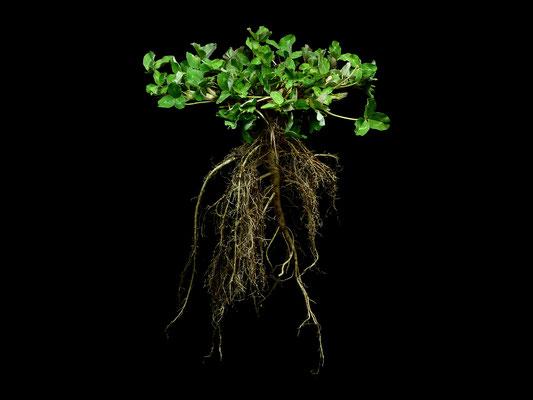 Trifolium pratense - Wiesen Klee - Rot Klee