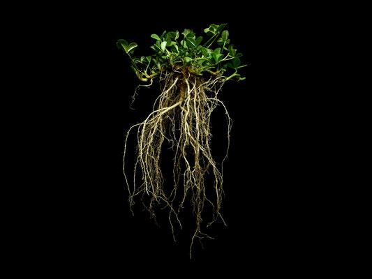 Trifolium repens - Weiß Klee - Kriech Klee