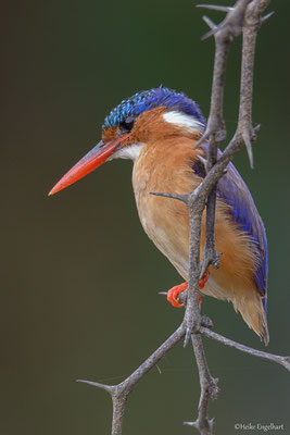 Ein wundervolles Erlebnis - dieser Malachiteisvogel liess uns ganz nah heranfahren.
