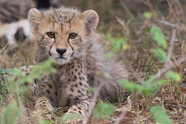 Die jungen Geparde sehen einfach nur süß aus mit ihrer wuscheligen Haarpracht.