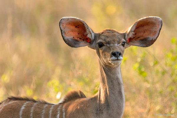 Ein junges Kudu.