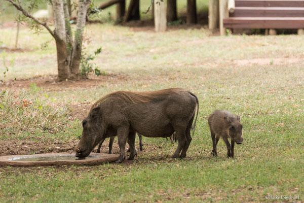 Die kleine Tränke lockt Warzenschweine und Nyala-Antilopen an.