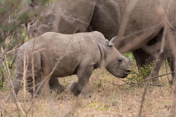 Ein seltener Anblick - ein noch sehr junges Nashornbaby.