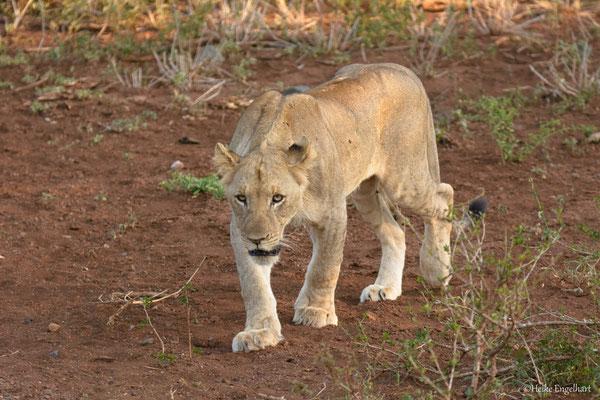 Die ersten Löwen.