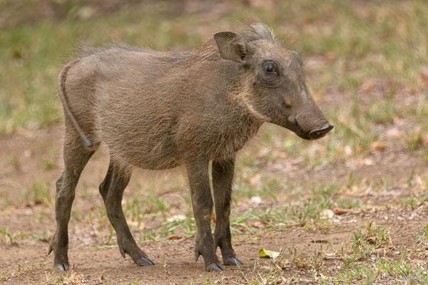 Einmal von einem kleinen Warzenschweinchen angegrunzt werden! Unbezahlbar.