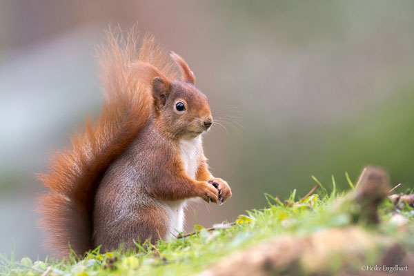 Eichhörnchen - Luisenpark Mannheim
