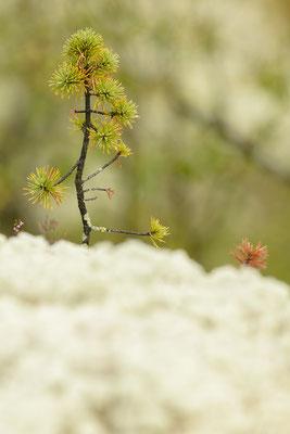 Wie im Märchenwald. Besonders schöne Waldstücke, die mit Flechten und Moosen vollflächig bedeckt sind, finden sich im Rondane Nationalpark.