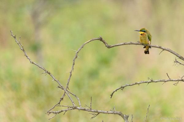 Bienenfresser. In Südafrika im März häufig zu beobachten.