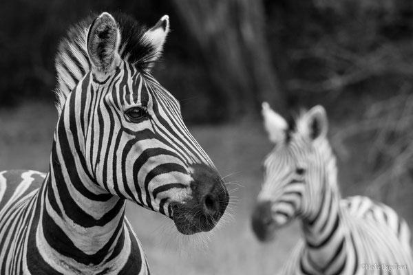 Schwarzweiß passt bei Zebras einfach immer.