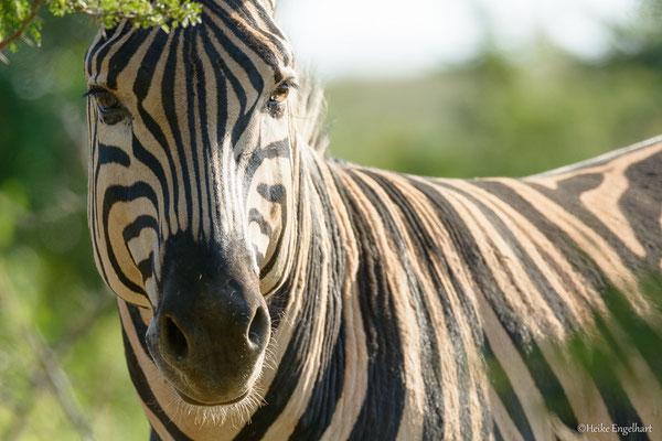 Zebras sind die Autos der Touristen so sehr gewöhnt, dass man bis auf wenige Meter an sie heranfahren kann und sie einen dann neugierig beäugen.
