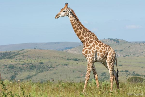 Erstaunlich, wie elegant Giraffen sich trotz ihrer Größe bewegen können.