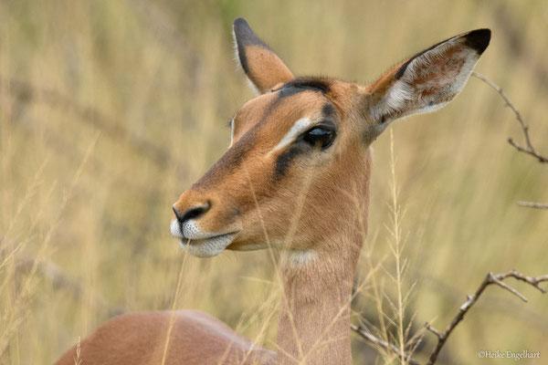 Impalas sind einfach nur wunderschön!