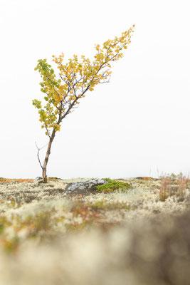 Nebel verändert die Landschaft. Wenn die Berge nicht zu sehen sind, werden die kleinen Birken zum alleinigen Motiv.