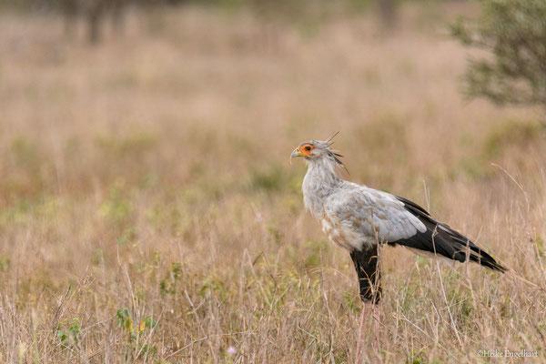 Den Sekretärsvogel kann man häufiger in den Savannen betrachten. Oft sieht man Pärchen die Gegend entlang schreiten.